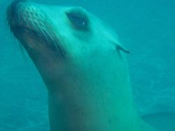 California sealion (Zalophus californianus). Photo