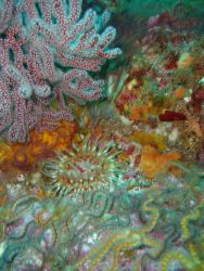 Fragile brittle stars, red gorgonian coral and sea anemone Photo