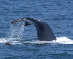 Tail of humpback whale as it dives. Photo