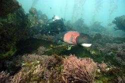 Diving on the shipwreck of the AGGI, diver Charles Lara observes a sheepshead (Archosargus probatocephalus). Photo