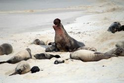 A bloodied male elephant seal guarding his harem from encroachment from other males. Image