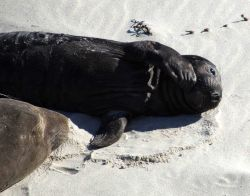 An elephant seal pup sleeping on the beach at Active Point, San Miguel Island. Image