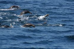 California sea lions Photo