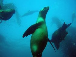 Playful California sea lions in the kelp forest off San Miguel Island. Photo