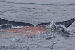 Red excrement reflecting the blue whale diet of krill. Photo