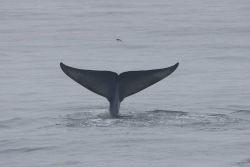 Blue whale flukes Photo