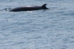 Minke whale on surface Photo
