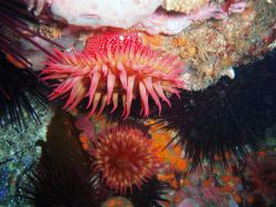 White-spotted anemones and numerous sea urchins Photo