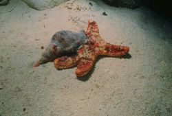 Atlantic triton on a (Bahama) cushion star. Image