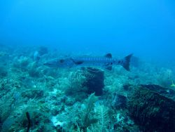 A barracuda cruising over large barrel sponges. Image