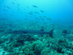 A barracuda cruising over the reef. Image