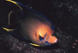 A Townsend Angelfish Image