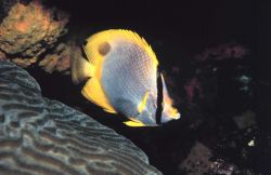 A Spotfin Butterfly Fish Photo