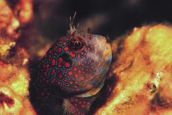 An Orange Tessellated Blenny Photo