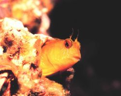 A Seaweed Blenny Image