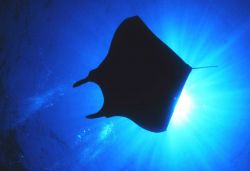A Manta Ray blocks out the sun Image