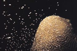 Brain Coral spawning Photo