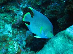 Blue angelfish Photo