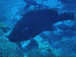 Marbled grouper Photo
