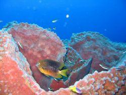 Threespot damselfish Photo