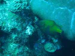 American whitespotted filefish swimming upside down Photo