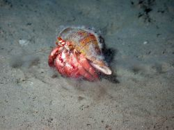 This hermit crab (Paguristes hernancortezi) was found scuttling across the sea floor in deeper areas of Flower Garden Banks NMS Photo