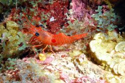 A red night shrimp (Cinetorhynehus manningi) perched on the reef. Image