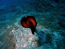 A sea hare (Aplysia morio) swimming at Stetson Bank. Image