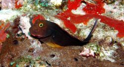 Redlip blenny (Ophioblennius atlanticus) often perch on their pelvic fins on top of coral heads. Photo