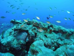 Brown Chromis (Chromis multilineata) Photo