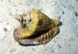 A queen conch (Strombus gigas) on a sandy seafloor habitat. Image