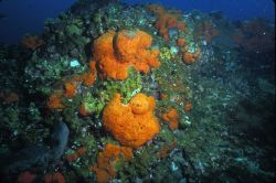 Algal sponge habitat at Sonnier Bank Image