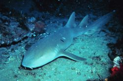 A Nurse Shark Photo
