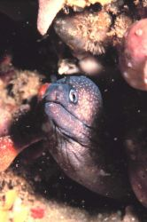 A Reticulated Moray Eel Photo