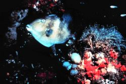 A Gray Triggerfish Photo