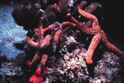 Sea stars Photo