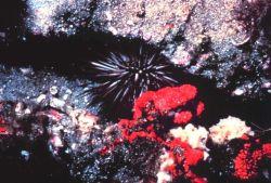 Rock boring sea urchin Photo