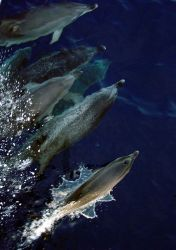 Atlantic spotted dolphin Photo