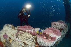 Diver conducting video survey with large sponges and juvenile queen angelfish. Photo