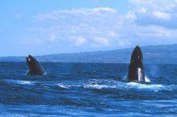 Humpback whale spy-hopping Photo