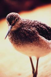 Limnodromus griseus - a Short-billed Dowitcher Photo
