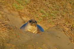Northern elephant seal (Mirounga angustirostis) Photo