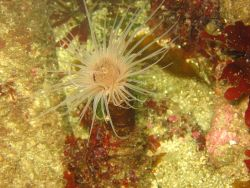 A cerianthid anemone Photo