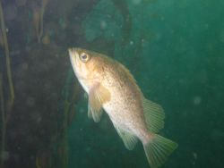 Rockfish, possibly boccacio (Sebastes paucispinis) Photo