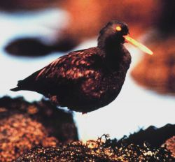A Black Oystercatcher. Photo