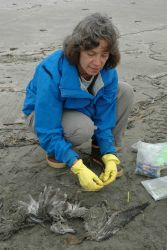 Mary Sue Brancato, Resource Protection Specialist for the Olympic Coast National Marine Sanctuary, is tagging a dead bird as part of the COASST (Coast Photo