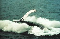A humpback whale breaching Photo