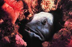 A Wolf Fish - Anarhichas lupus - hiding in the rocks Photo