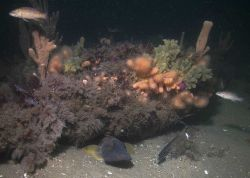 An ocean pout under the hide under the anemone covered wooden frames of the schooner Paul Palmer Photo