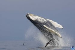 A soaring humpback whale at the beginning of its breach. Photo